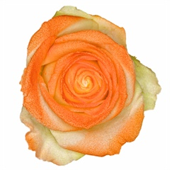 Avalanche Marshmallow Orange Rose