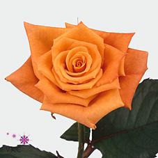 Orange Unique Rose