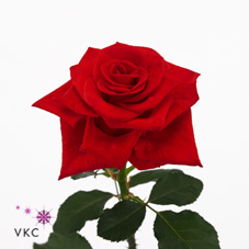 endless love rose
