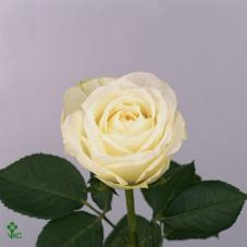 polo white rose