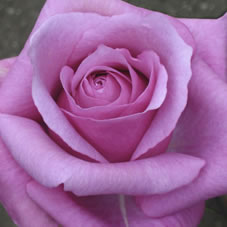 purple fragancia rose