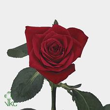 red champ rose