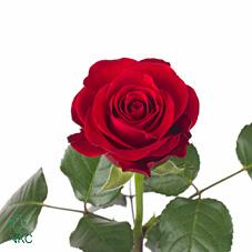 Wholesale Rose Directory Red Ribbon Roses Wholesale Roses