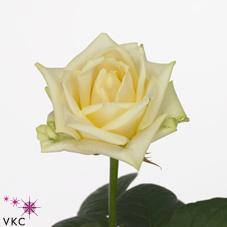 white champion rose